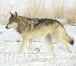 Source: http://www.defendersofwildlife.org/wildlife_and_habitat/wildlife/wolf,_gray.php