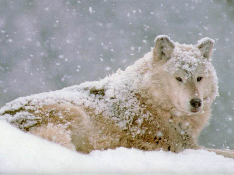 Happy snow wolf