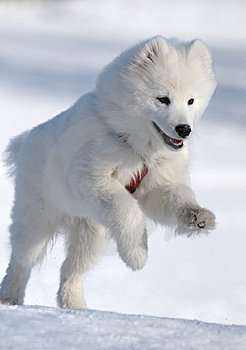 Source: http://www.dreamstime.com/samoyed-dog-image6427831